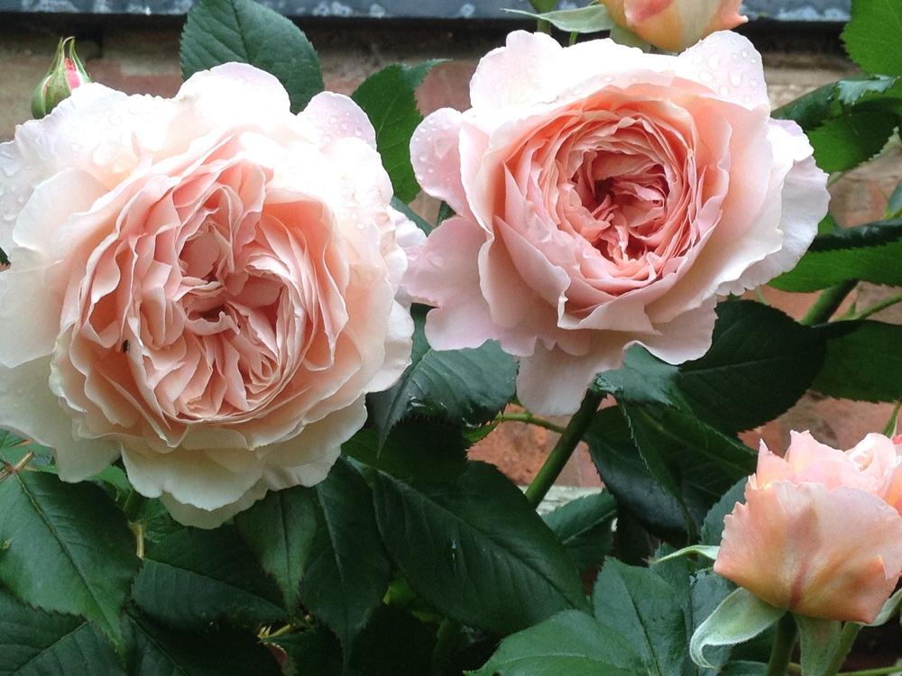 A shropshire Lad, David Austin Roses