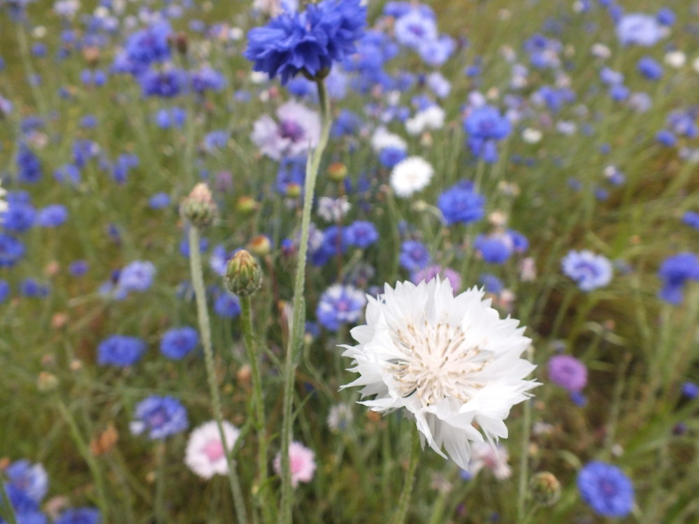 Blue, White, Pink & Lilac cornflowers