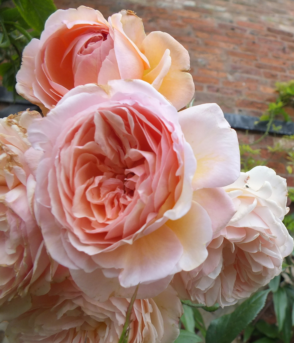 "David Austin Garden Rose ""A Shropshire Lad'"