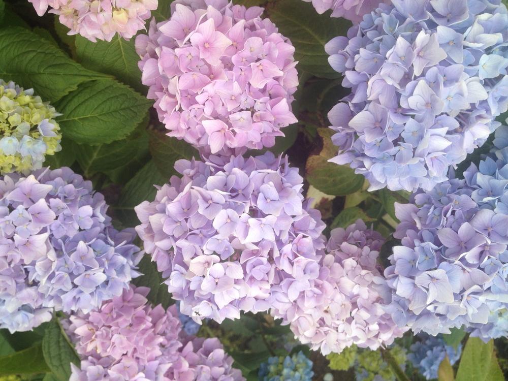 Pastel Hydrangeas Summer