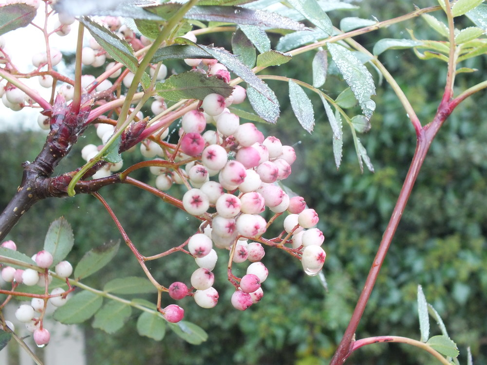 Pink and white rowan berries