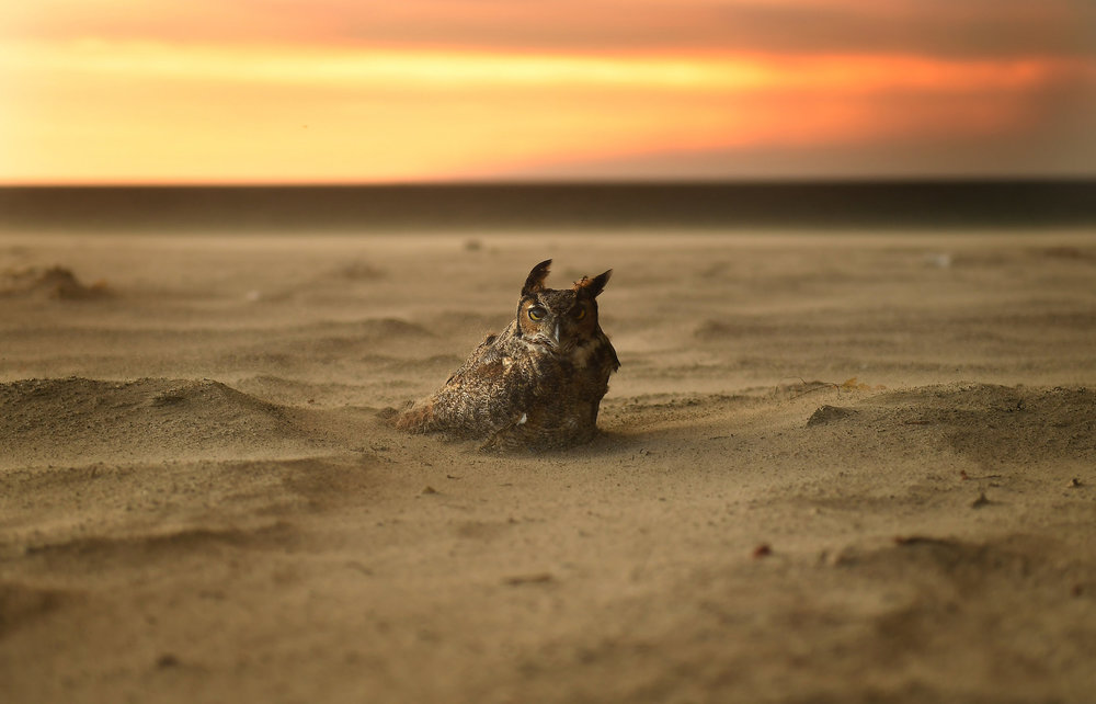 malibu-owl.jpg