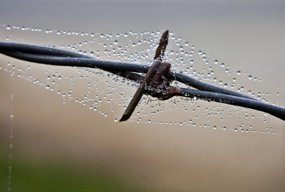 Barb Wire and Dew