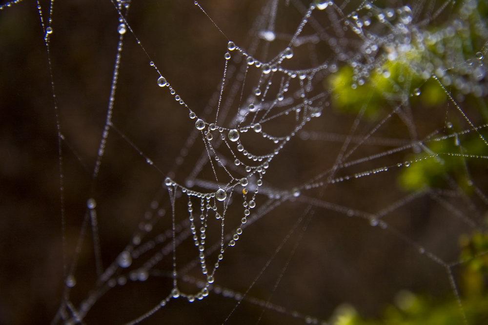 Spiderweb and Dew