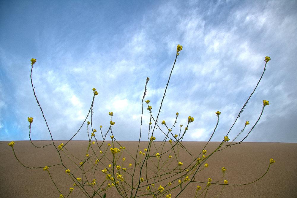 Dunes Drive Dune Flower
