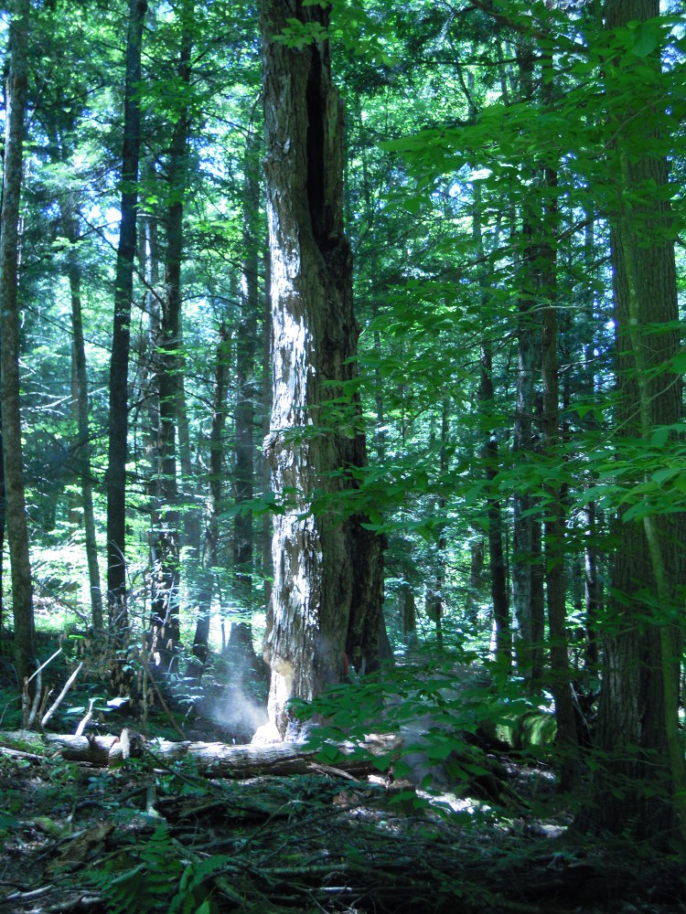 Standing dead maple trunk