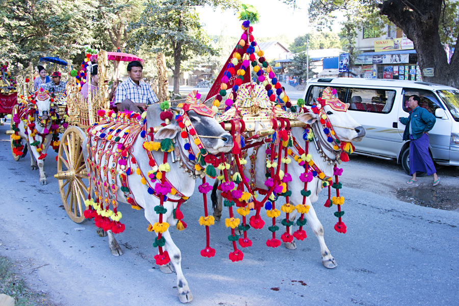 Decorated chariot led by cows in Buddhist Shinbyu procession in Myanmar