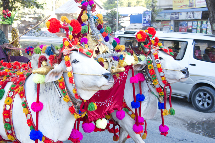 Decorated Cow in Buddhist Shinbyu Procession in Myanmar