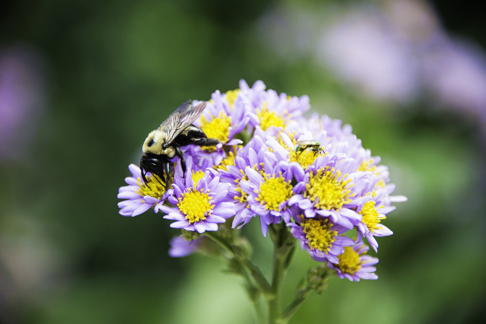 Bee on Purple and Yellow Flowers