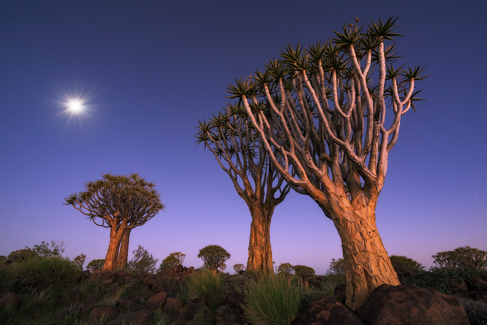 """Twilight Illumination"" - Quiver Tree Forest, Keetmanshoop, Namibia Heavy twilight skies to the west illuminate the Quiver trees and atmosphere in soft warm hues, whilst an almost full moon rises to the east and stars begin to appear. A long exposure of 30 seconds was needed to render a good exposure of the twilight scene helped on by the moon light from above. I was surprised by the power of the western twilight on the base of the Quiver trees as it was quite dark, but helped enrich the already striking colours of the trees."