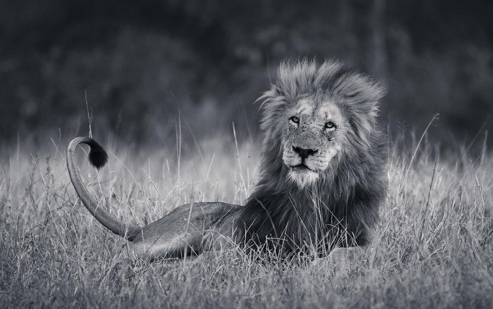 Kruger National Park Lion Wildlife Photography Mark Dumbleton