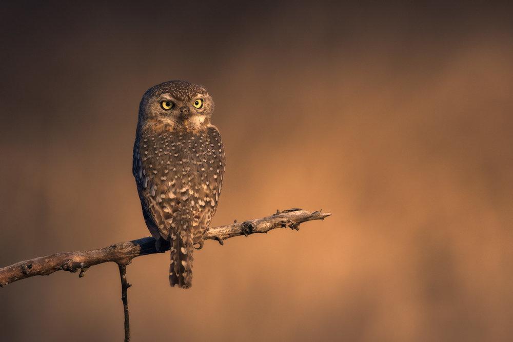 Kruger National Park Pearl-spotted Owlet Wildlife Photography Mark Dumbleton
