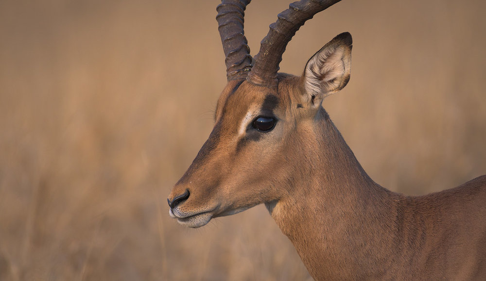 Kruger National Park Impala Wildlife Photography Mark Dumbleton