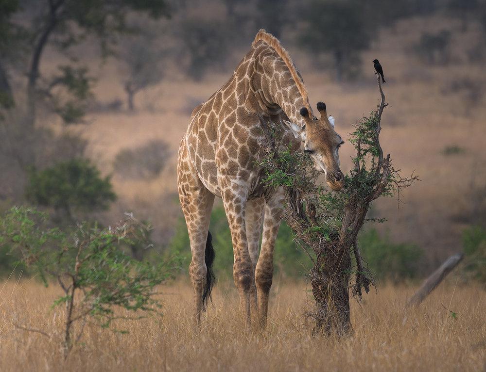 Kruger National Park Giraffe Wildlife Photography Mark Dumbleton