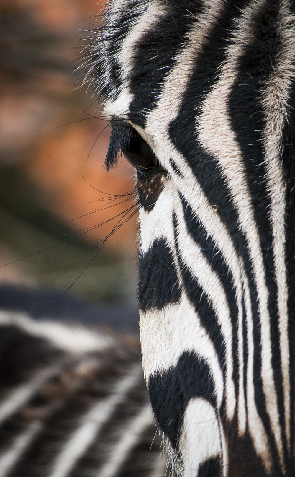 Zebra Zoo Zürich