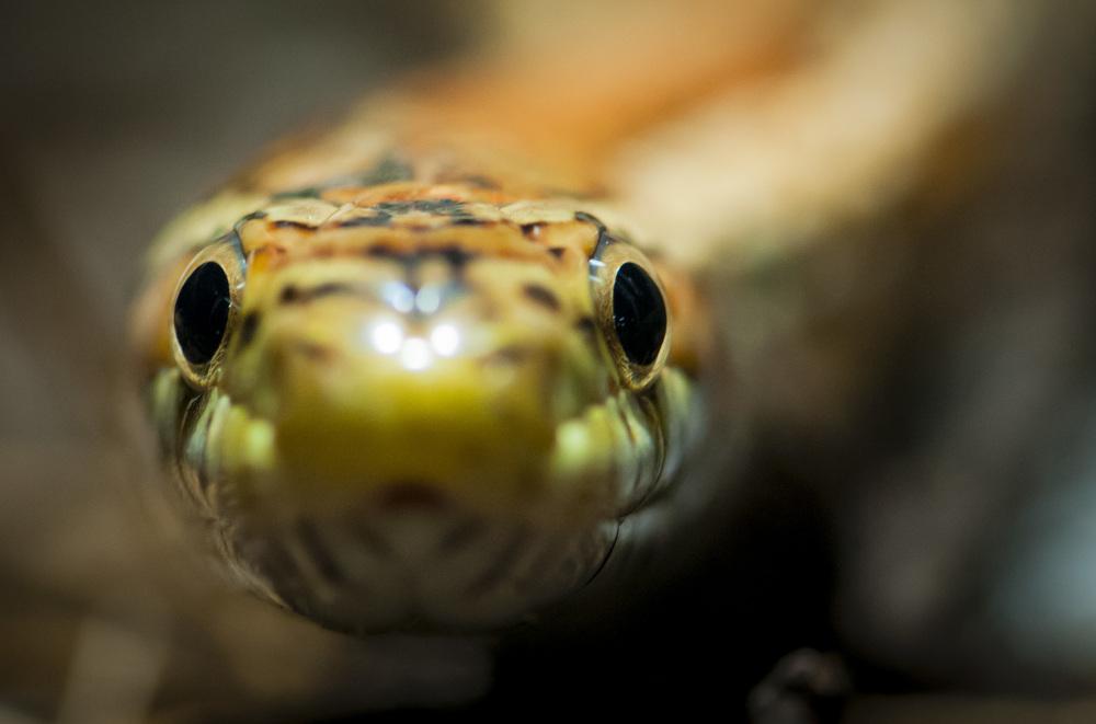 Kornnatter / grain snake