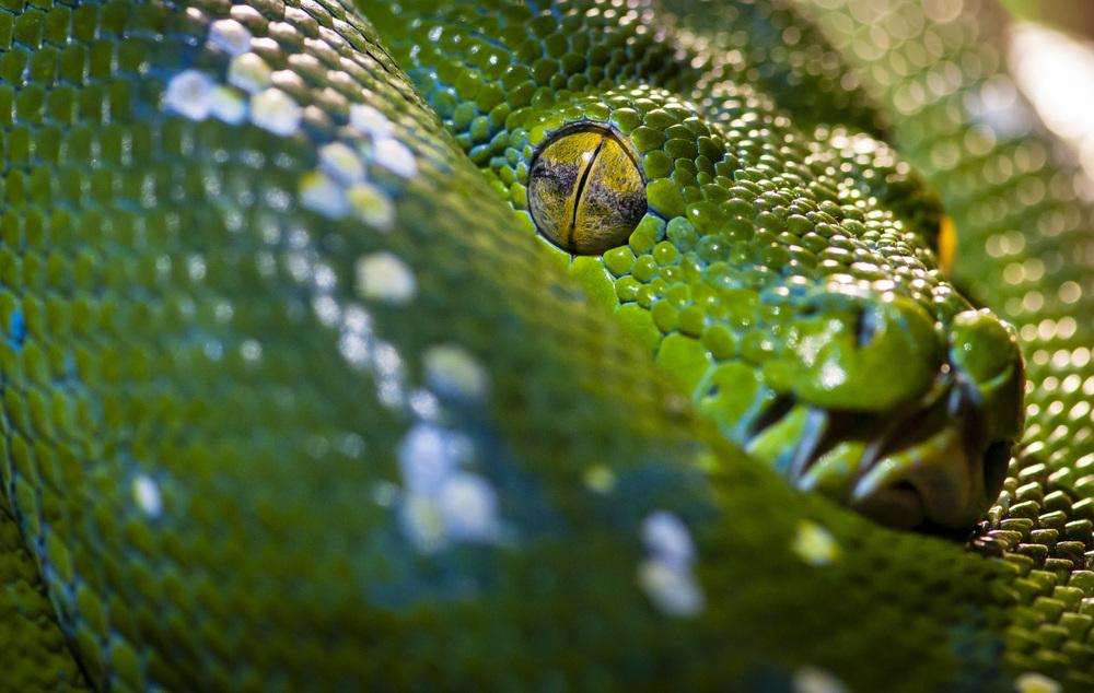 grüner Python / green python