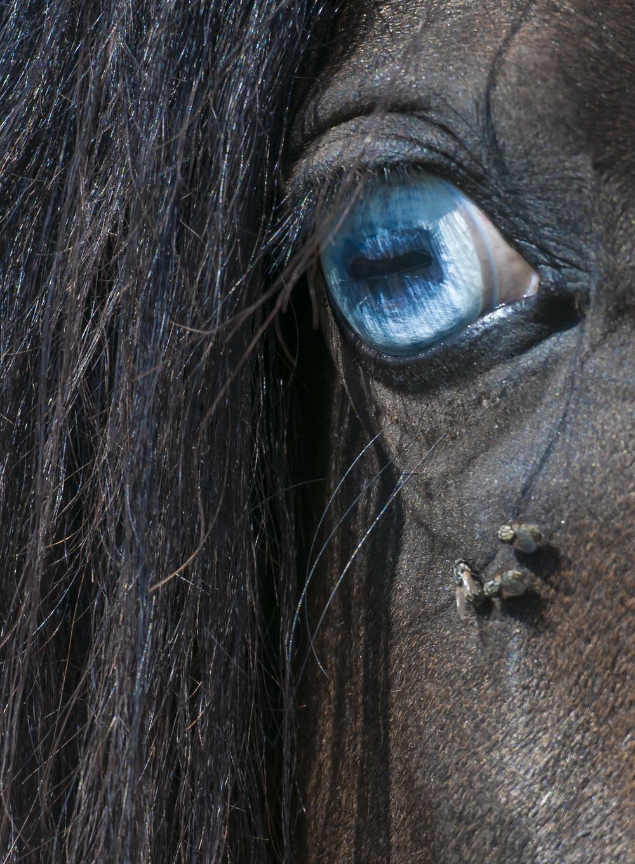 Hengst / horse