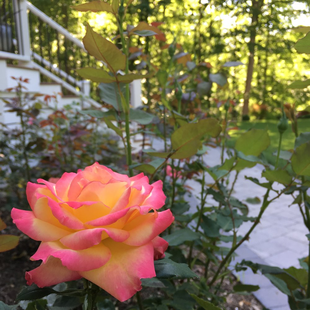 Gorgeous roses from my garden this summer.