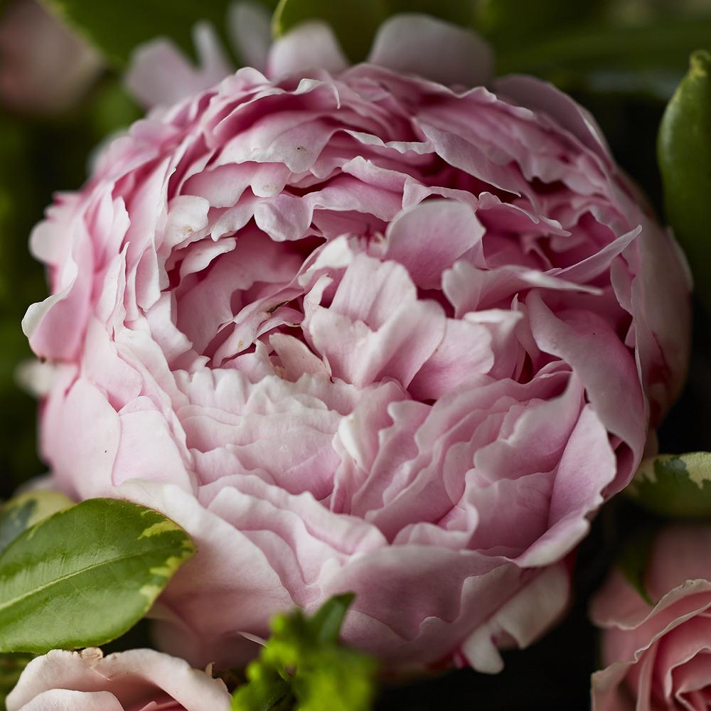 Dearest Pinks   Detail of Sarah Bernhardt peony