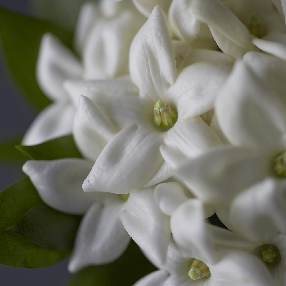 Timeless Ivory | Stephanotis detail