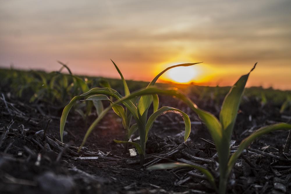 Corn Plant.png