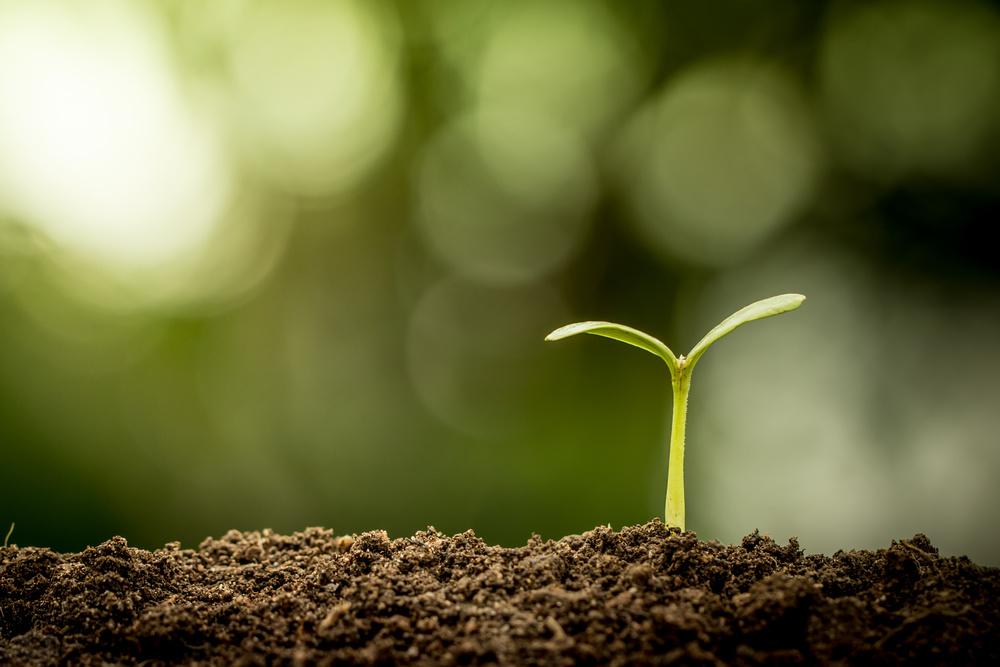 soybean plant.jpeg