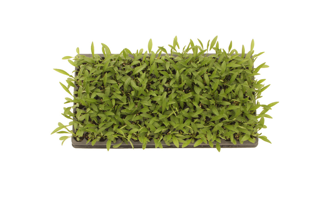 Coreopsis Tray (288)