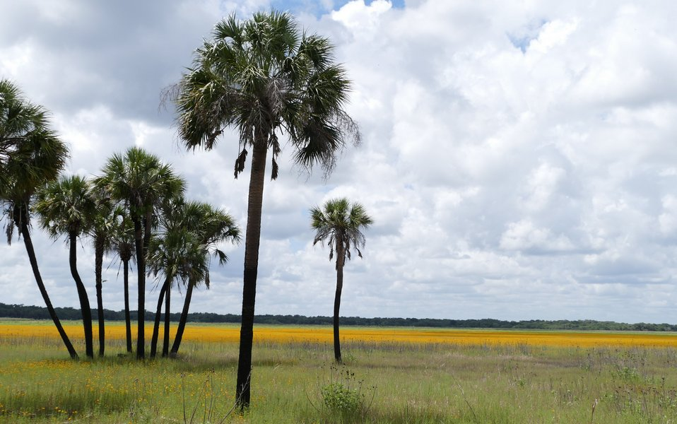 Liquid Gold Flows at Myakka River State Park - Guest Post by Nancy Dobias