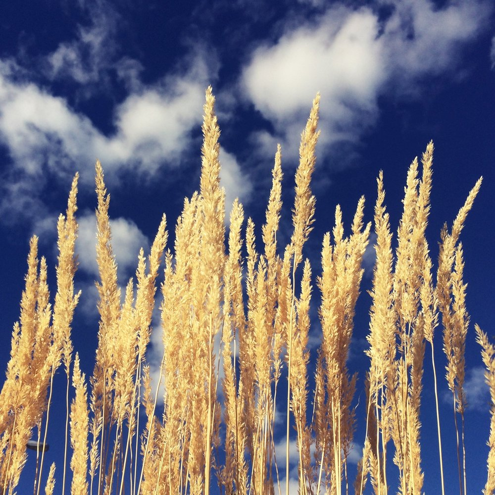 Golden stalks and blue skies.jpg