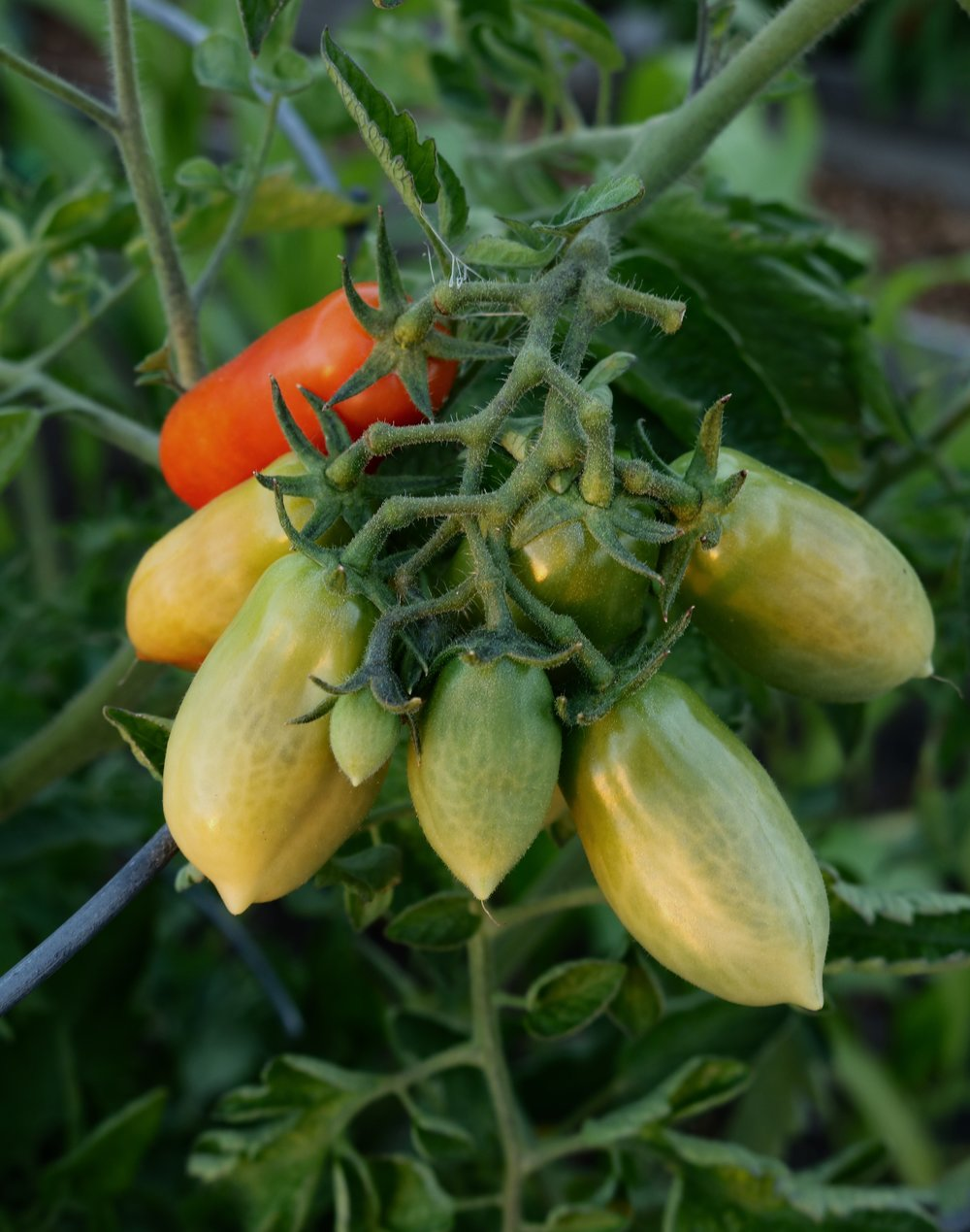 Not every tomato ripens.  What to do with the green ones?   See recipes.