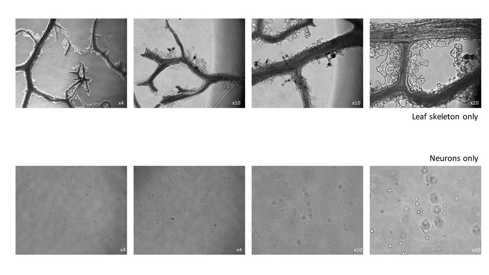 leafskeleton(plus)neurons-2.jpg