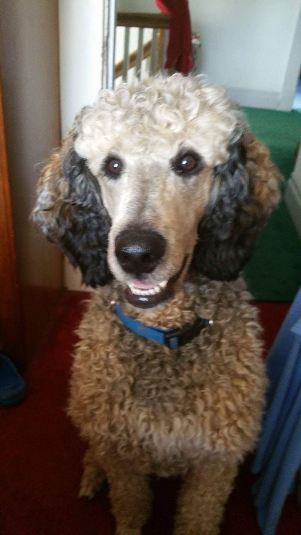 Murphy, Piper's Standard Poodles, Mansfield Ohio