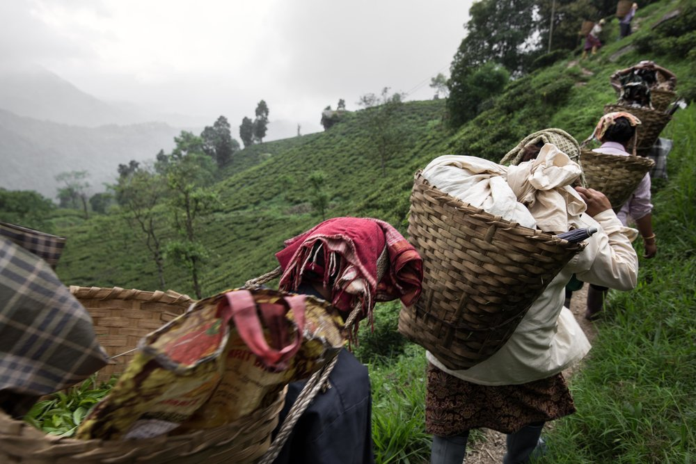 Labourers carry tea leaves to the Happy Valley factory in Darjeeling
