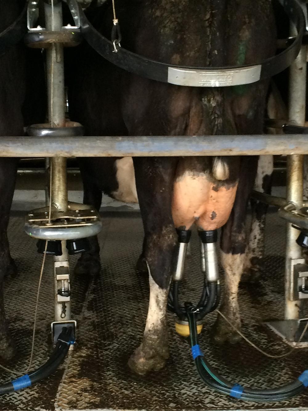 Cows ok?