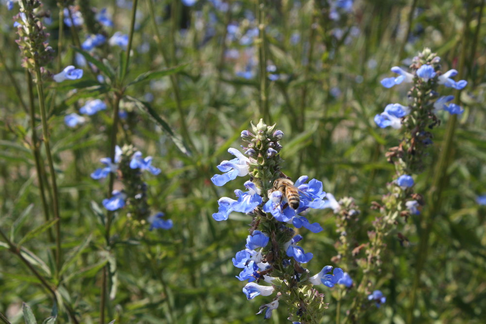 Tuscan Blue Rosemary - bees- Sonoma Broadway Farms.JPG