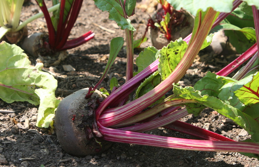 organic beets - sonoma broadway farms - cake bloom.JPG