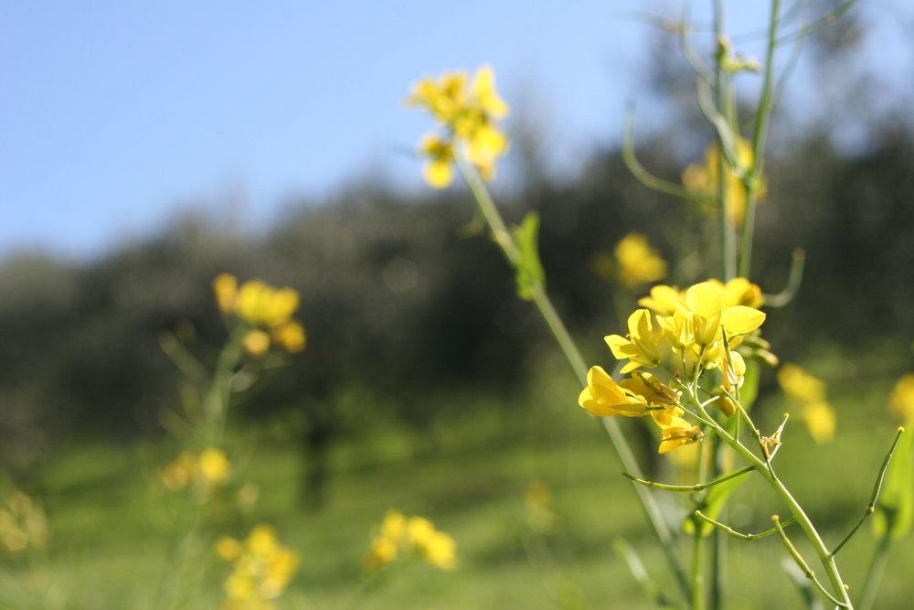 Seasonal edible flowers: Mustard