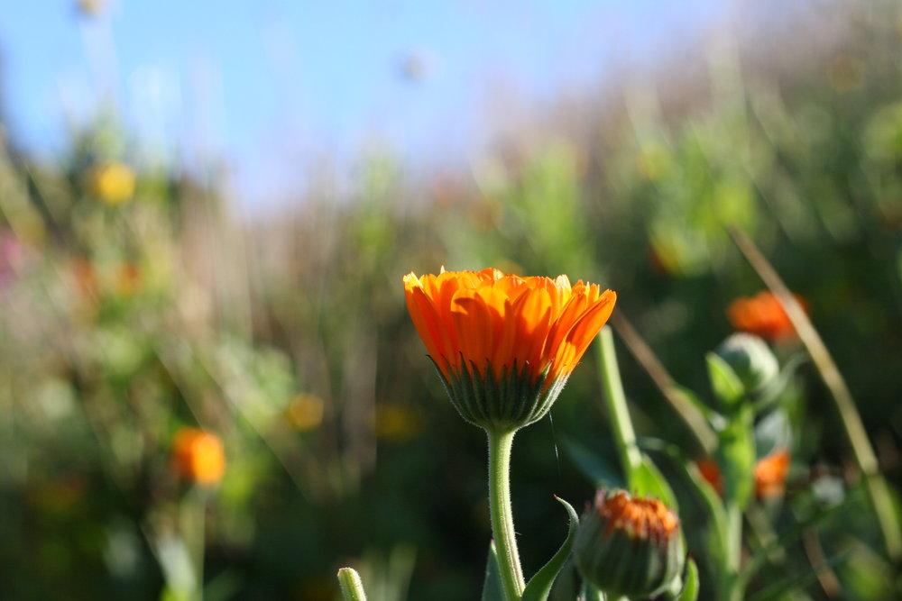 Orange calendula flowers - edible blooms for cake styling