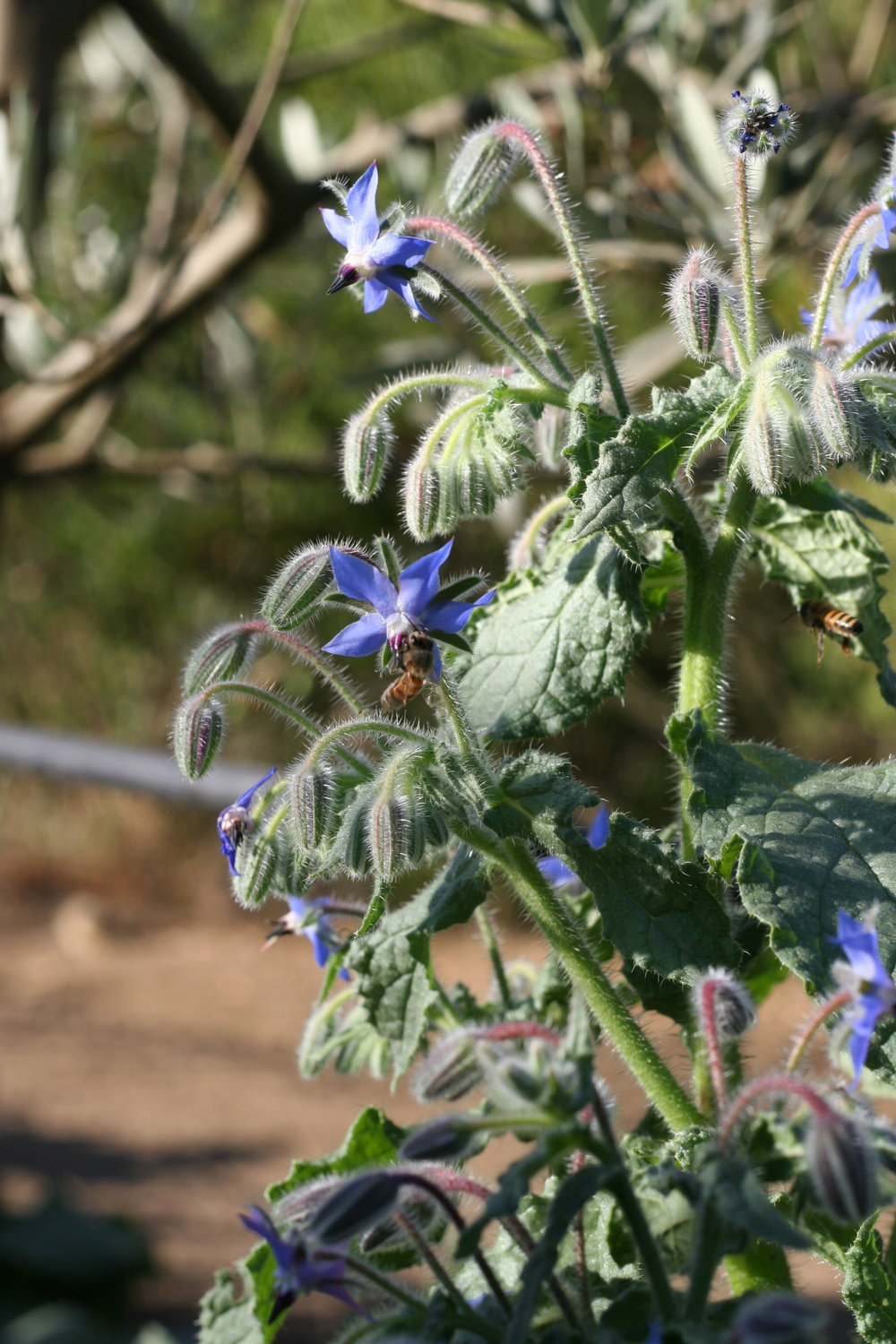 Borage - edible flower ideas for cake styling