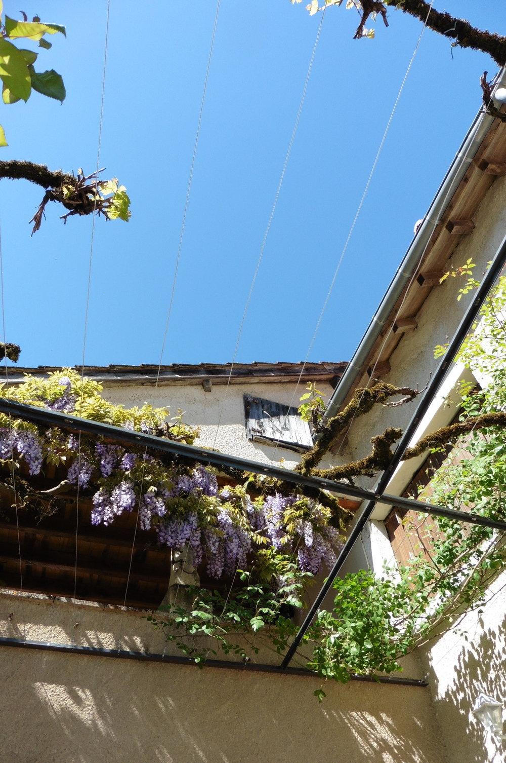 View from below of the pergola, looking up to the wisteria.