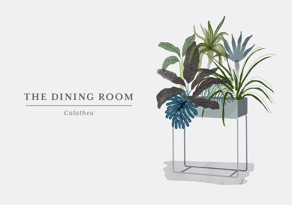 Let's be frank: Calatheas are not the easiest plants out there, but with their unique leaves and patterns they are so beautiful that they are definitely worth the trouble. They don't like too much sun so make sure not to place them in a window – they will love a corner of your dining room. They can grow to be about 1 metre, so put them on the floor where it will usually also be a bit darker. The tricky part of this plant is that they depend on moist, which does not only mean that you have to water them 2-3 times a week; they also need a shower or to be misted with lukewarm water. This is also to keep the leaves free from dust, as that will limit its ability to absorb light and humidity of other plants in the room.