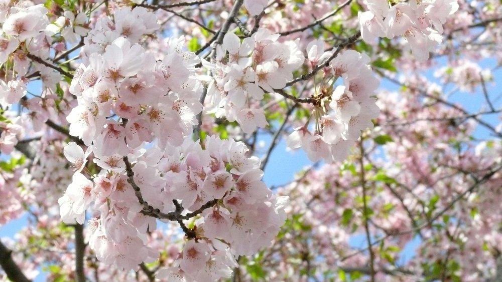 cherry-blossom-706631_1920.jpg