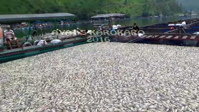 Dead fish rise to the surface in Lake Toba, Indonesia