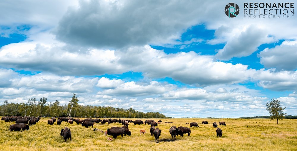 Bison walking through the fields of Elk Island National Park. Alberta, Canada.