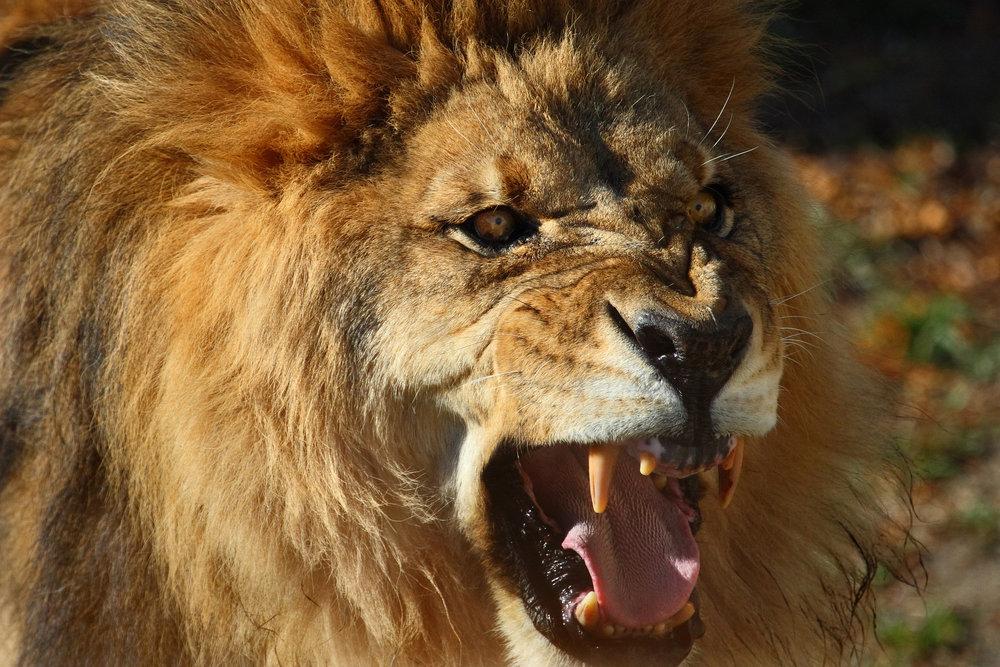 lionroar.jpg