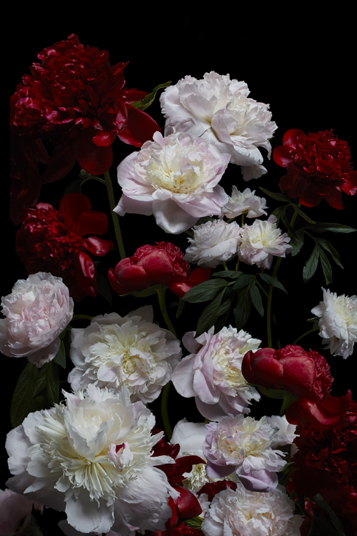 peony+bloom.jpg