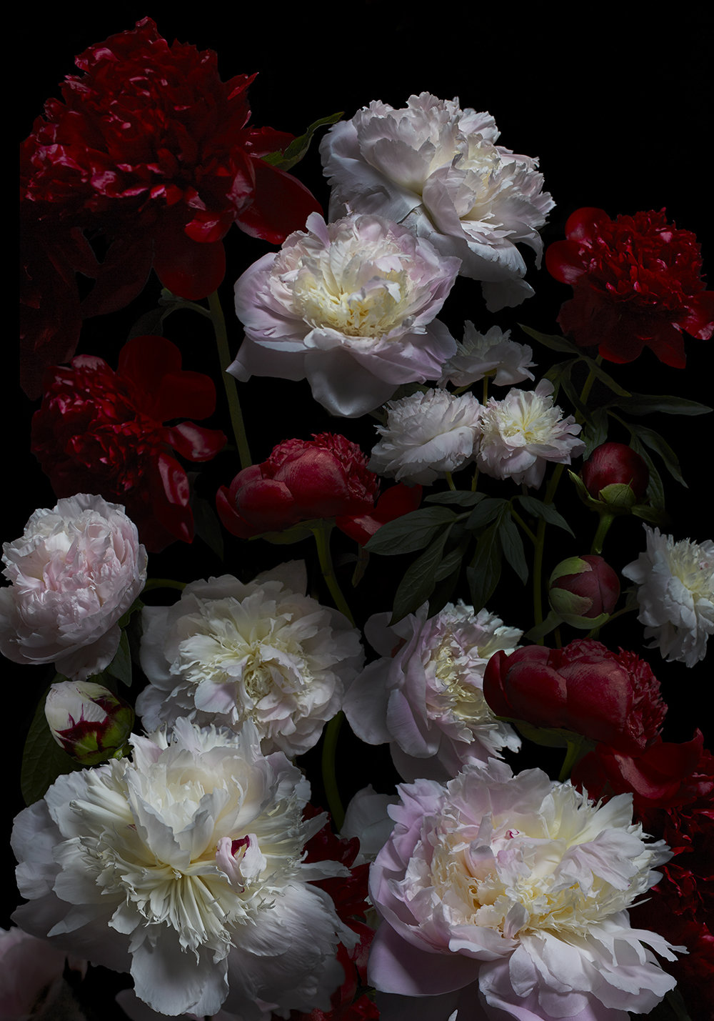 peony wallpaper by ondrea barbe.jpg