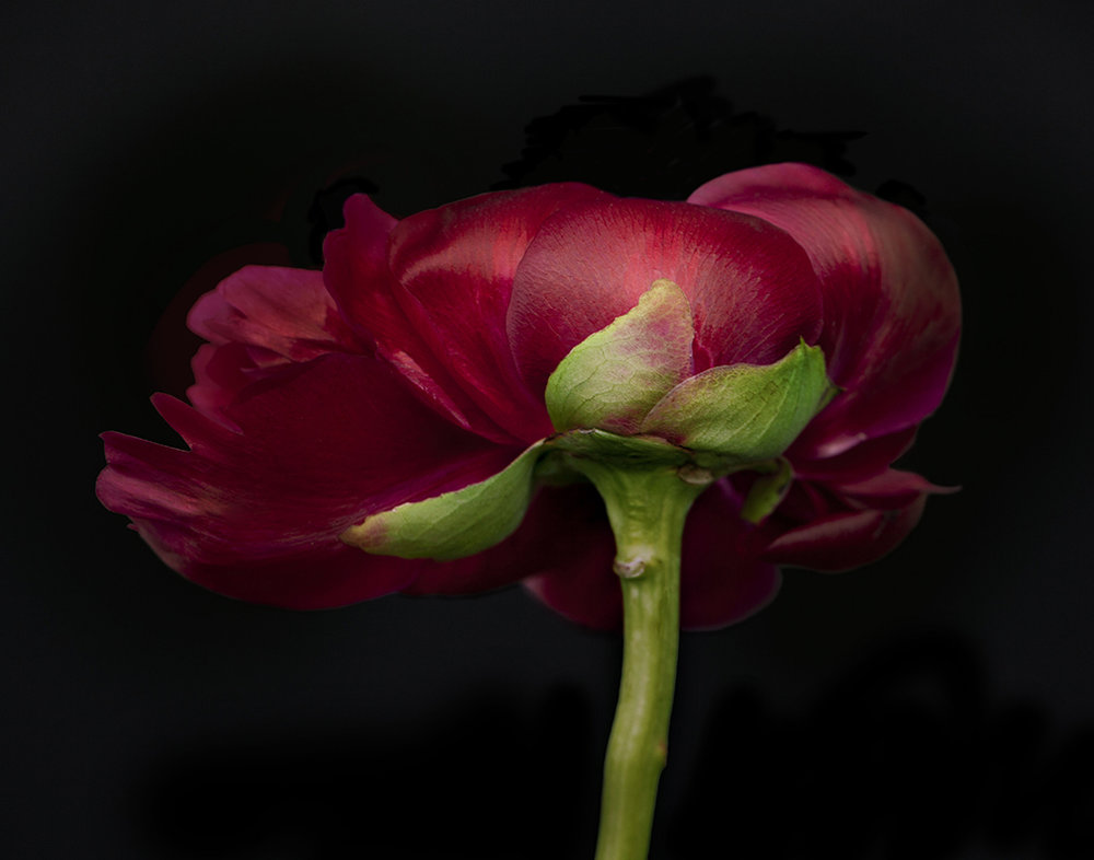 ondrea barbe red pivoine.jpg