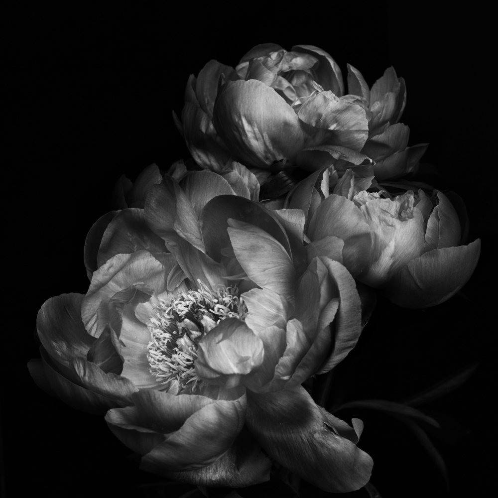 ondrea barbe black and white peony 1.jpg